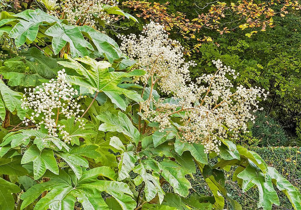 カミヤツデの花と葉