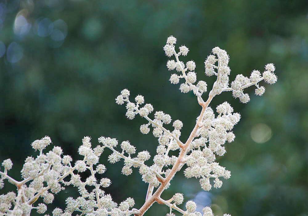 カミヤツデの花