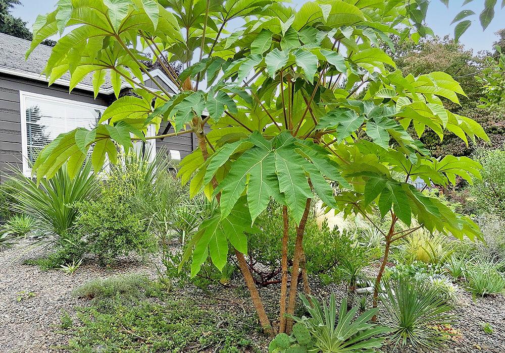 カミヤツデの木