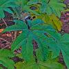 カミヤツデの植物図鑑と育て方
