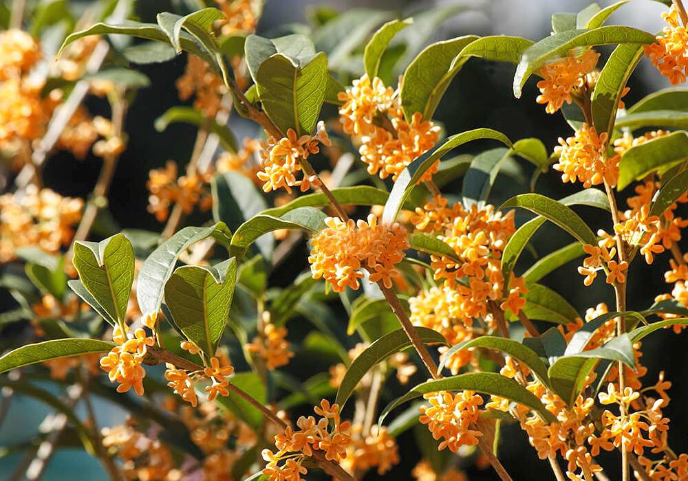 開花したキンモクセイの枝