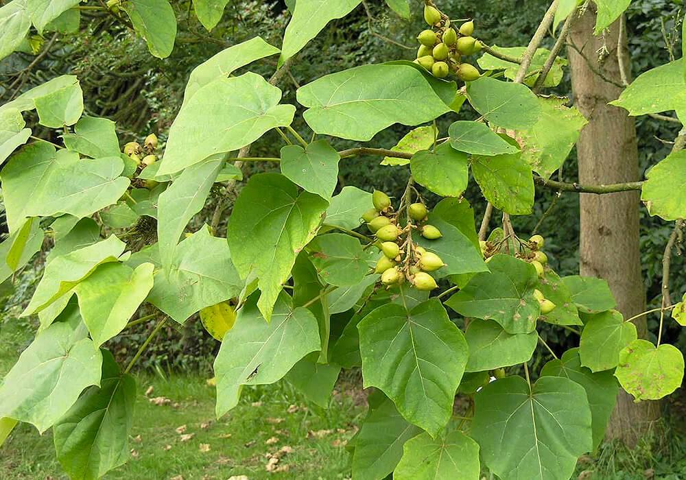 キリの葉と果実