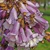 キリの植物図鑑と育て方