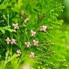 コノテガシワの植物図鑑と育て方
