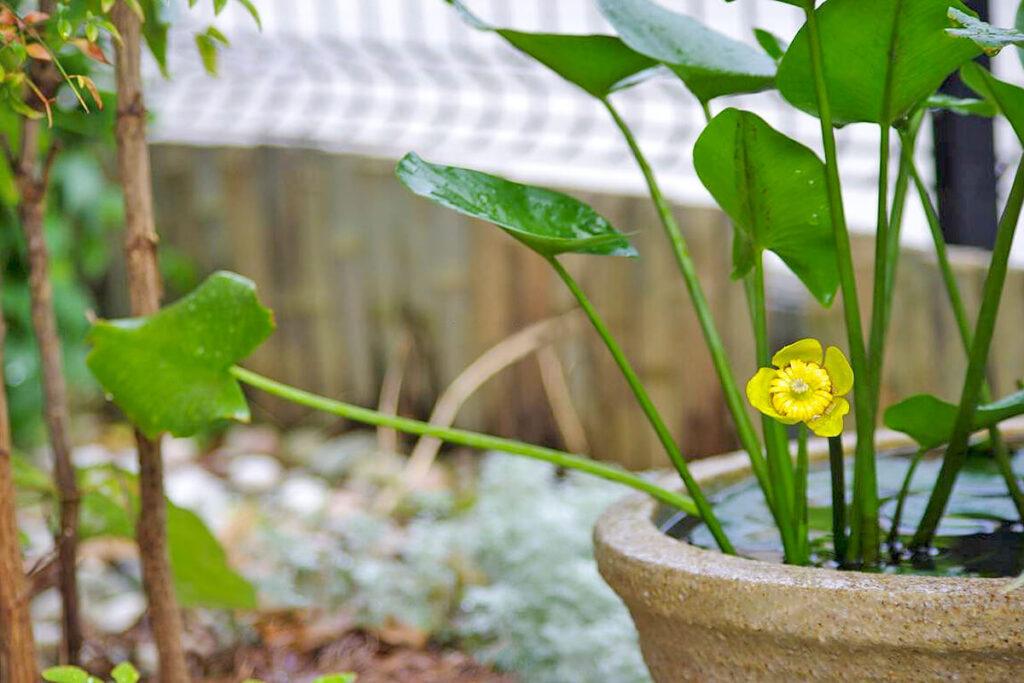 コウホネの鉢植え