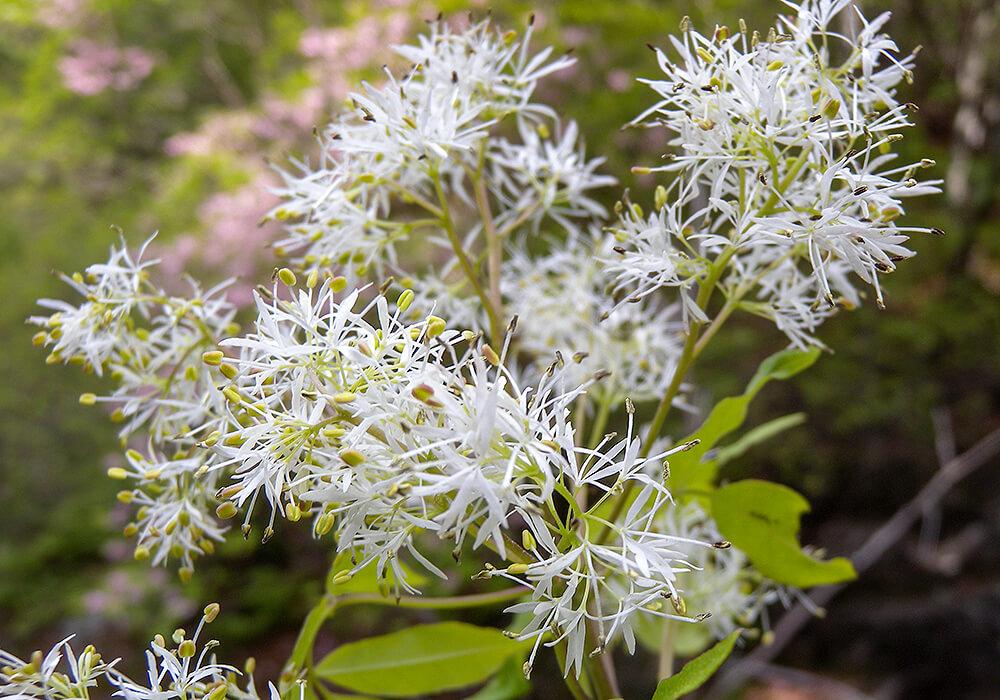 マルバアオダモの花の拡大