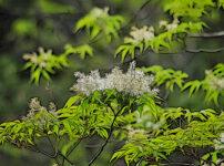マルバアオダモの植物図鑑と育て方