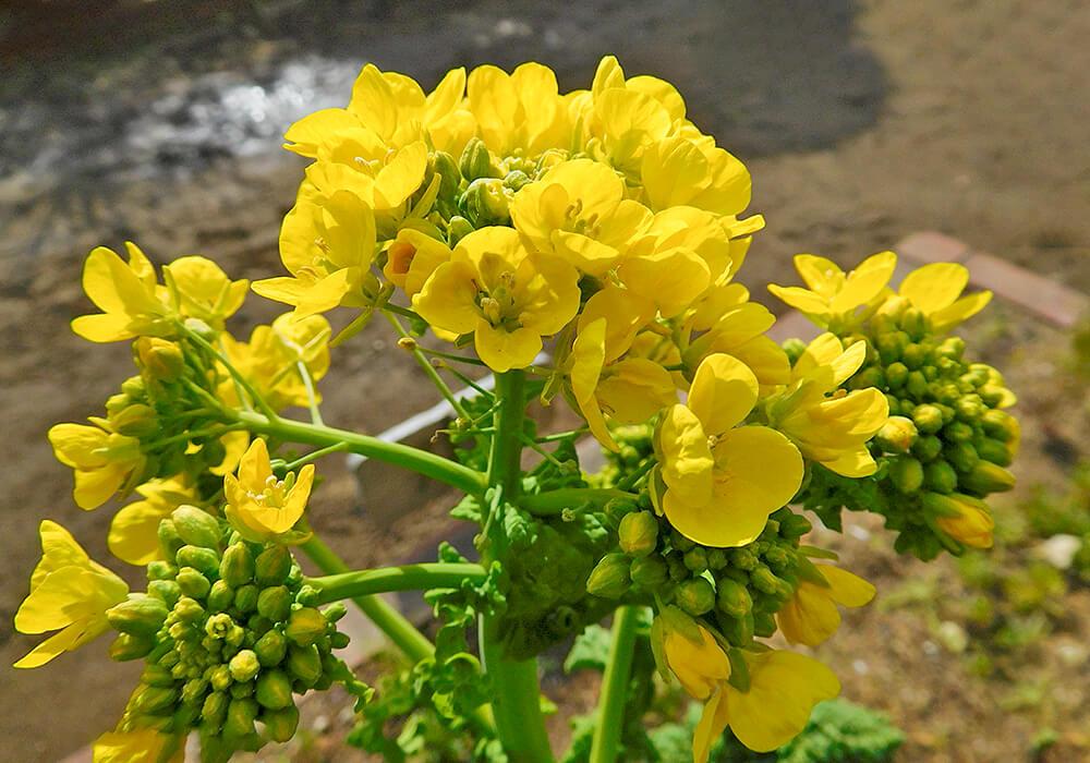 メキャベツの花