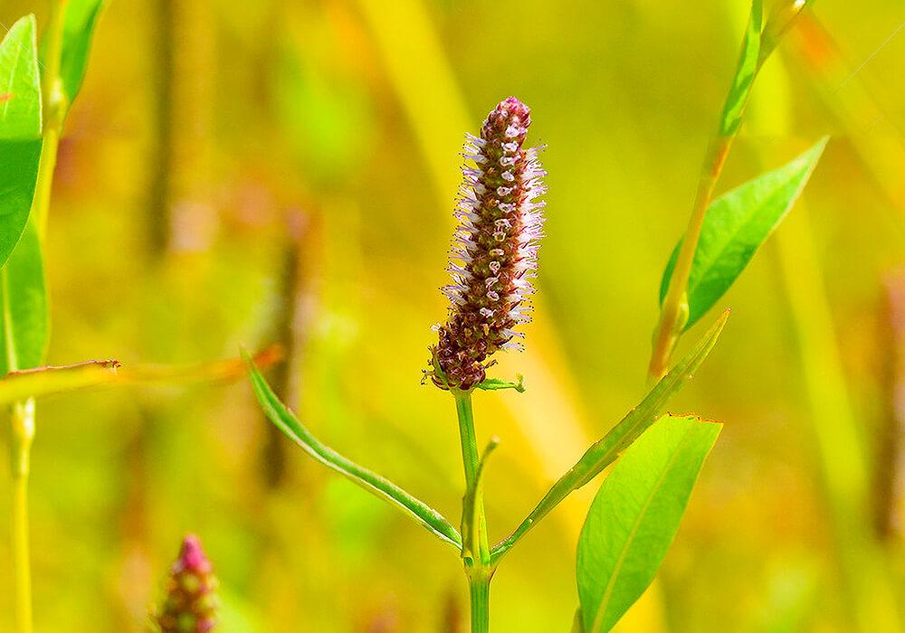 ミズネコノオの花の拡大