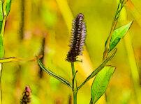 ミズネコノオの植物図鑑と育て方