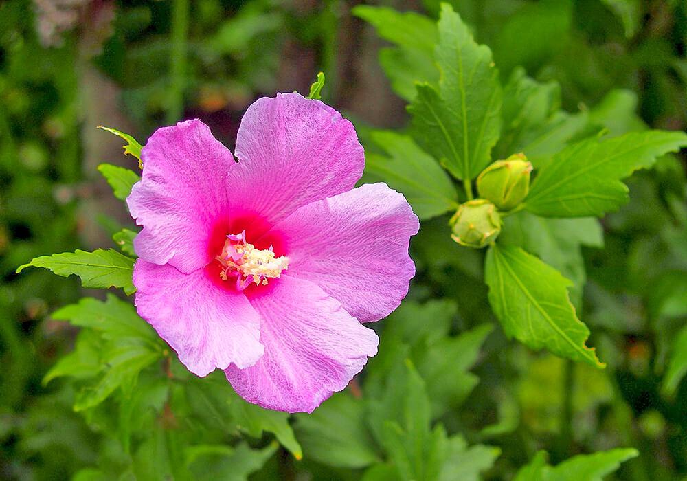 ムクゲの花と蕾