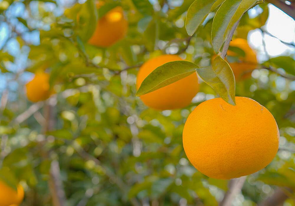 ナツミカンの果実