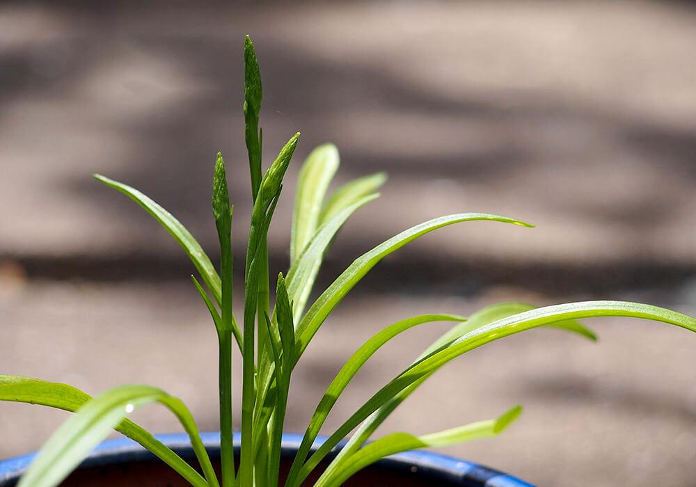 ネジバナの葉と花芽