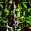 ネジバナの植物図鑑と育て方