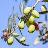 オリーブの植物図鑑と育て方