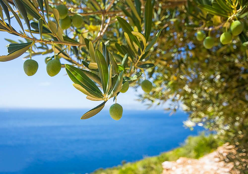 オリーブの葉と果実