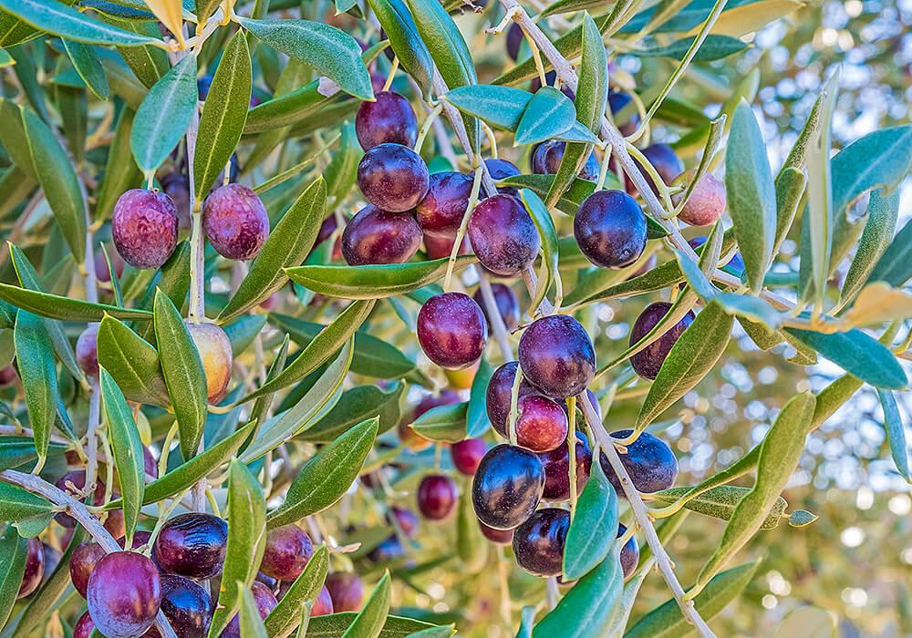 オリーブの熟した果実