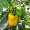 パプリカの植物図鑑と育て方