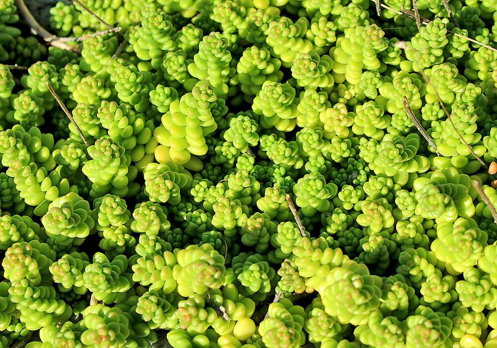 緑のセダム