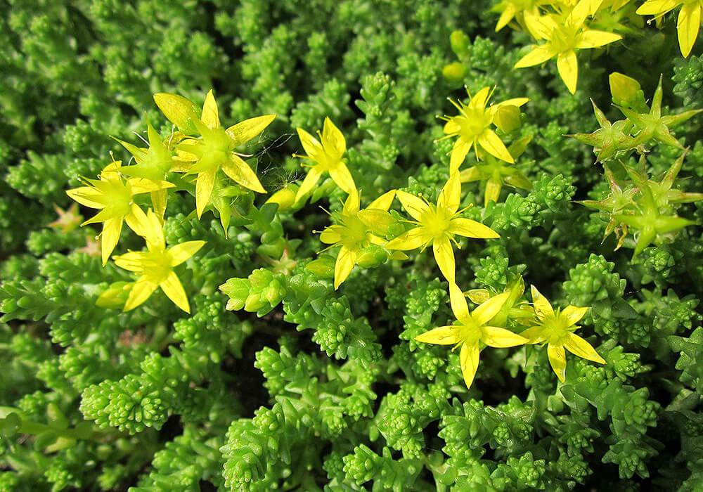 セダムの黄色い花