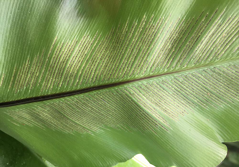 シマオオタニワタリの胞子嚢