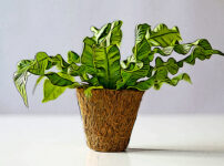 シマオオタニワタリの植物図鑑と育て方