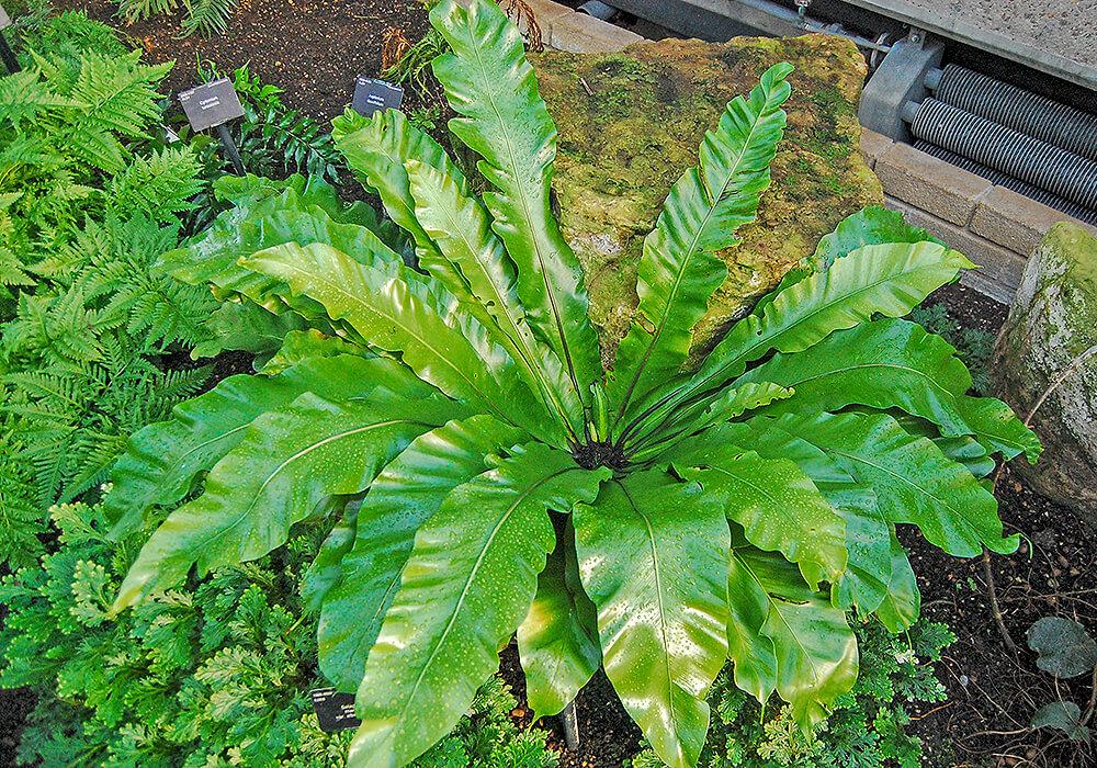 シマオオタニワタリの庭植え