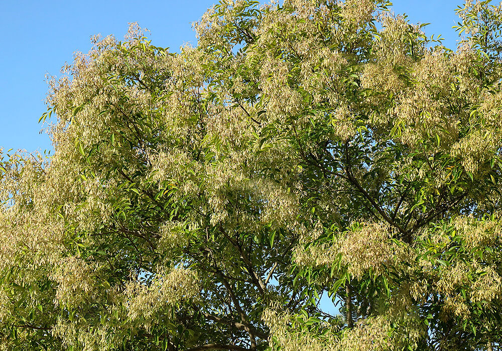 シマトネリコの大木