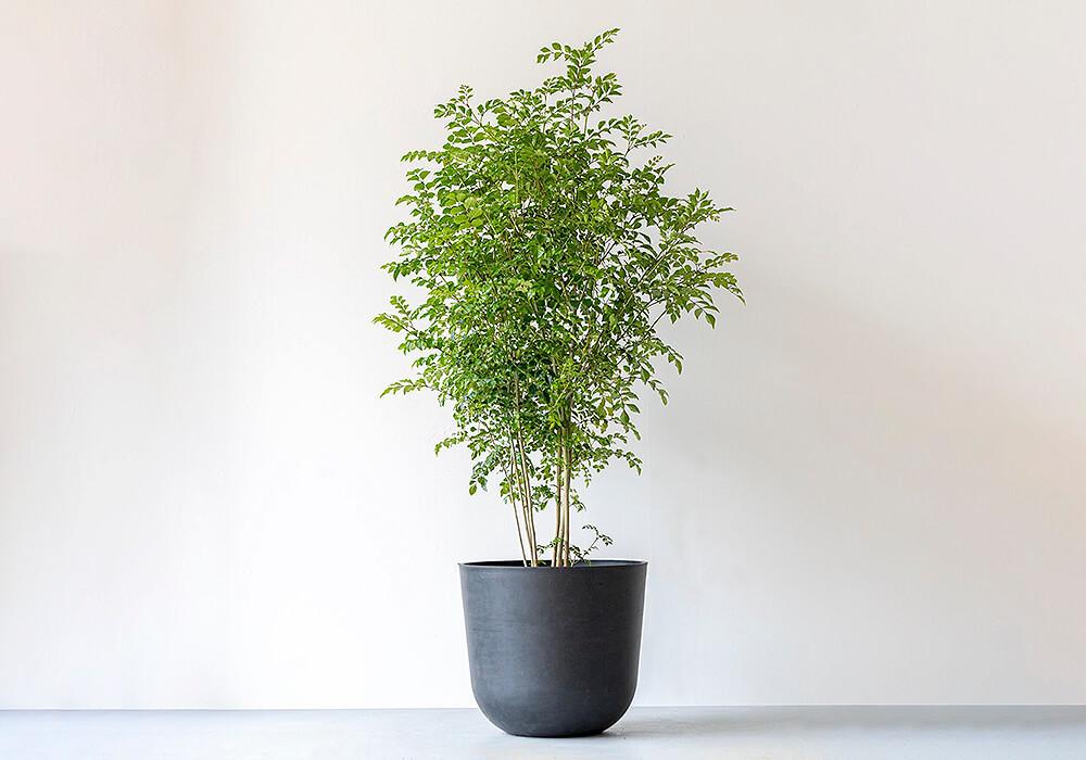シマトネリコの観葉植物