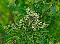 シマトネリコの植物図鑑と育て方