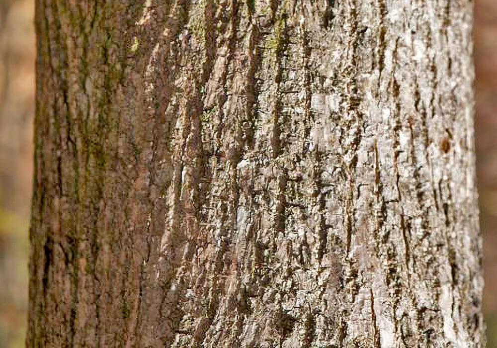 シオジの樹皮