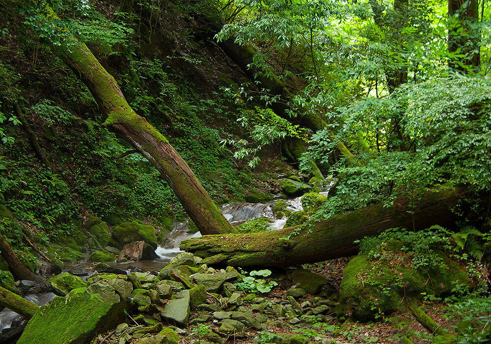 シオジの原生林