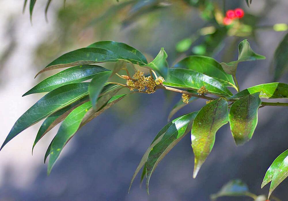 シロダモの花と葉