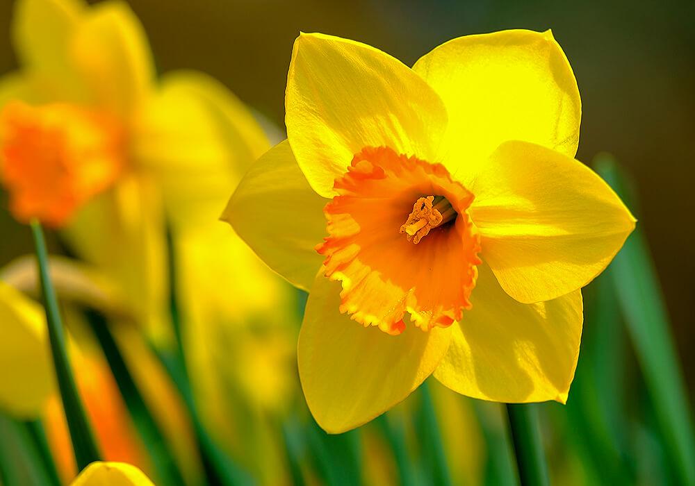 スイセンの黄色い花
