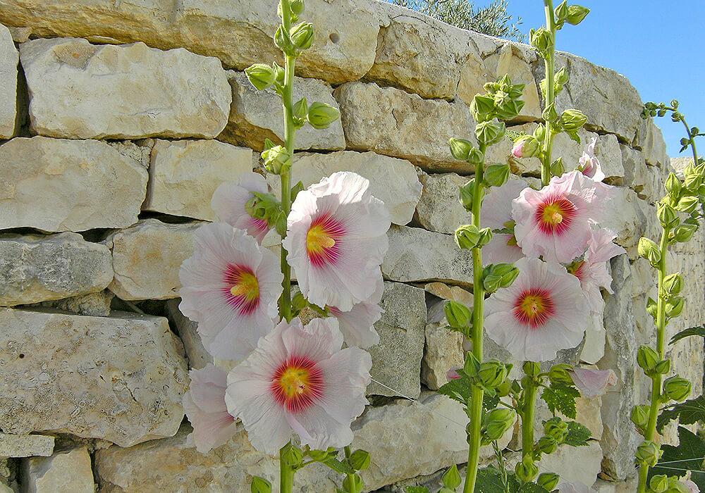 白いタチアオイの花