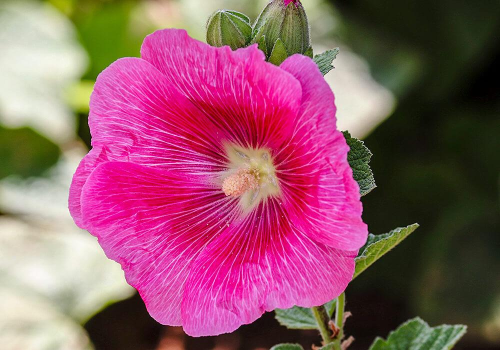 ピンクのタチアオイの花