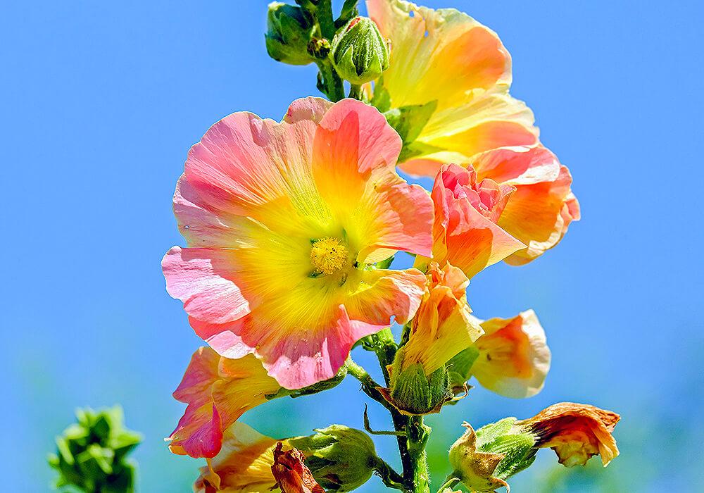 複色のタチアオイの花