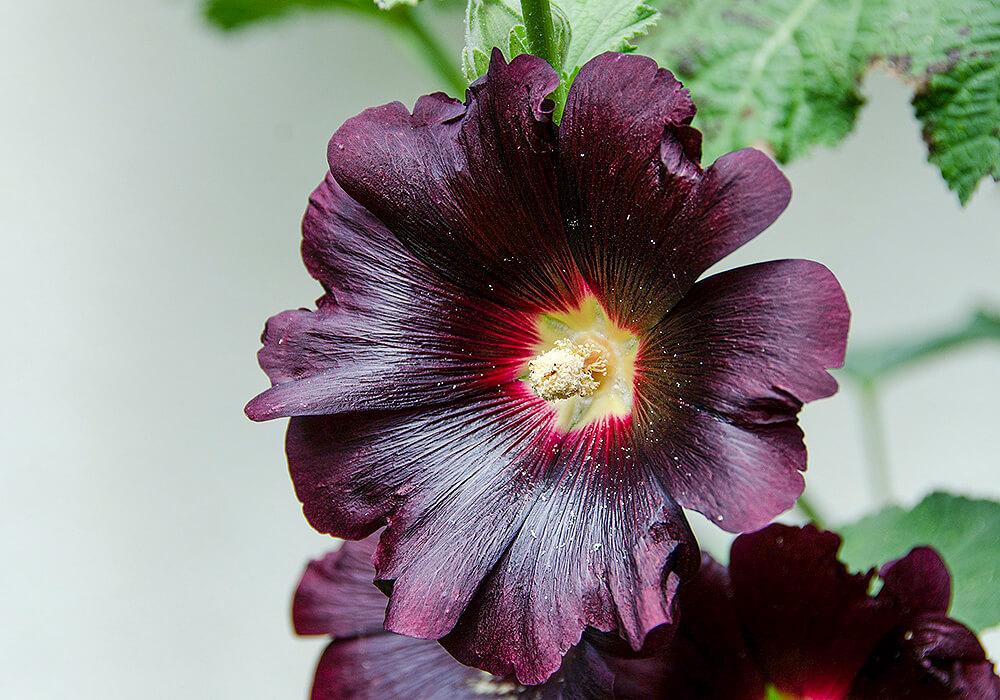 黒いタチアオイの花