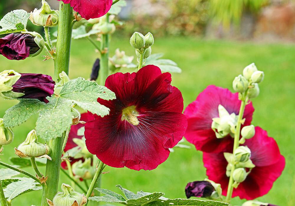 赤いタチアオイの花