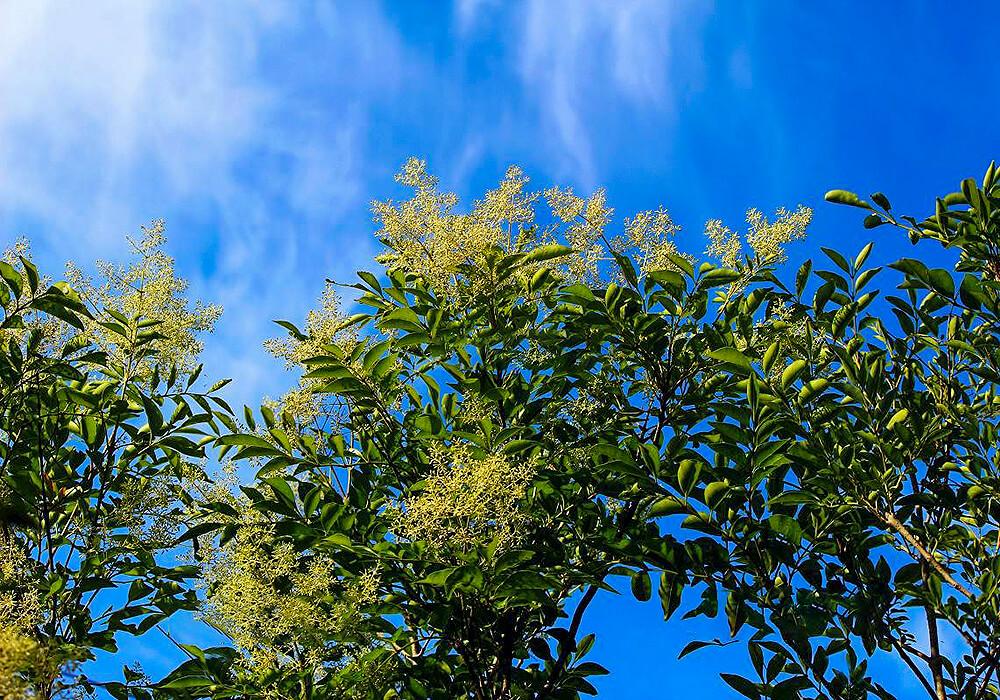トネリコの花と葉