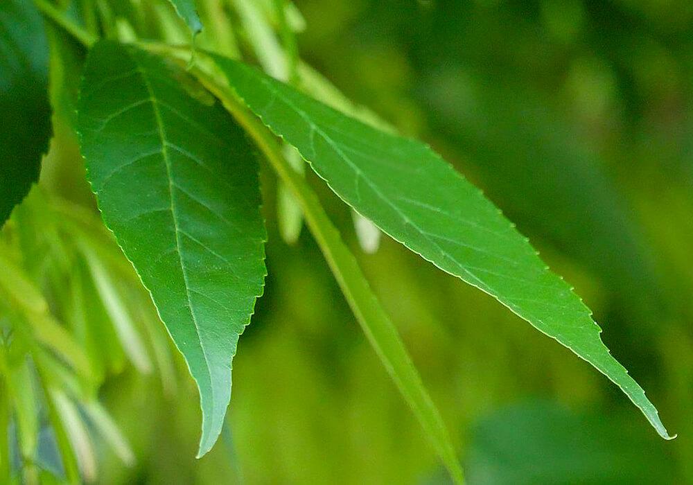 トネリコの葉