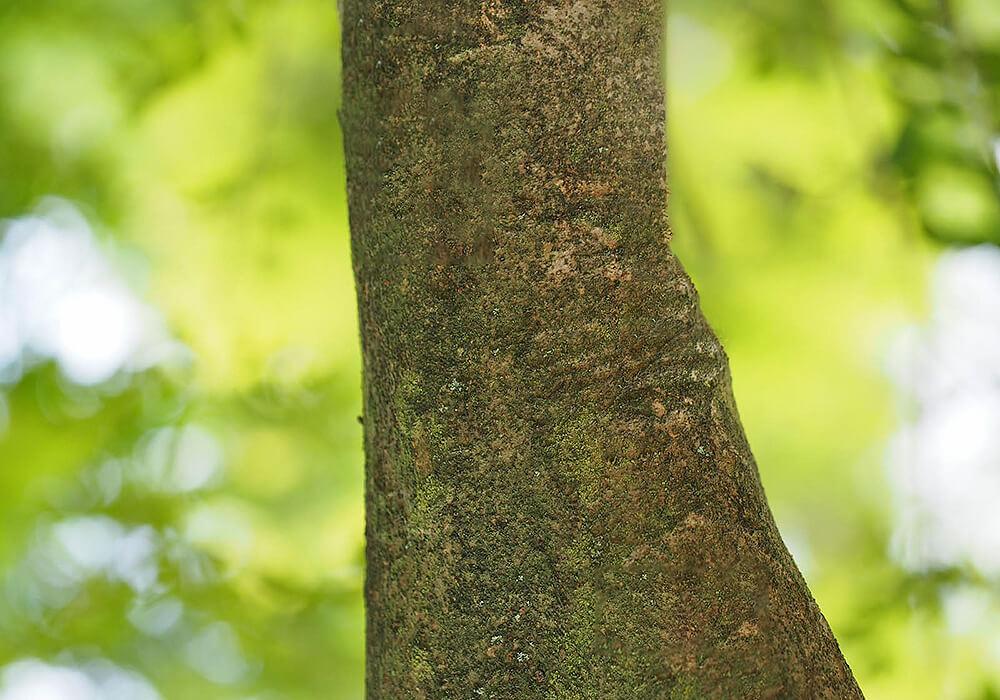 トネリコの樹皮