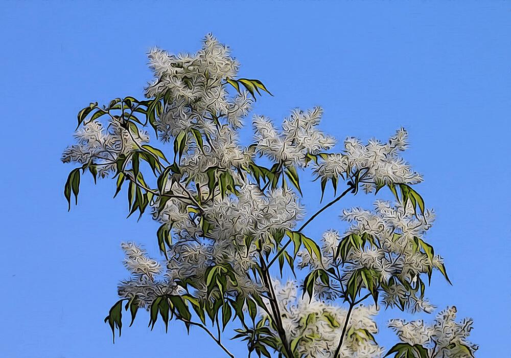 トネリコの植物図鑑と育て方