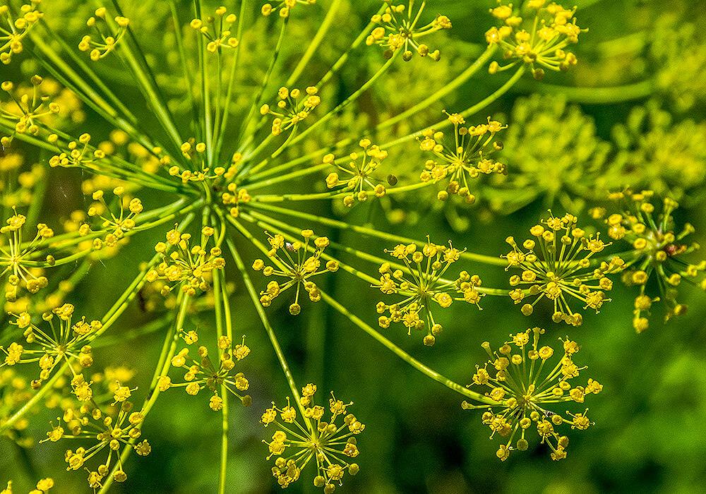 ウイキョウの花の拡大