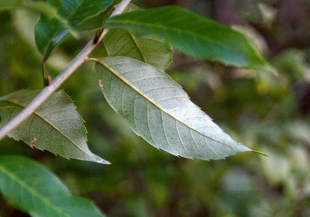 ウラジロガシの葉