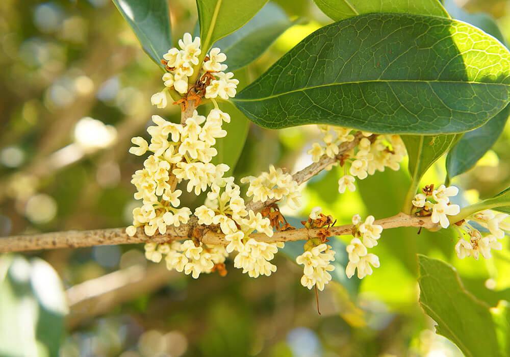 ウスギモクセイの花と葉