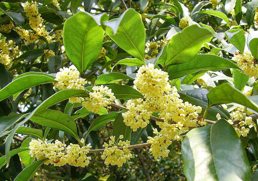 ウスギモクセイの花