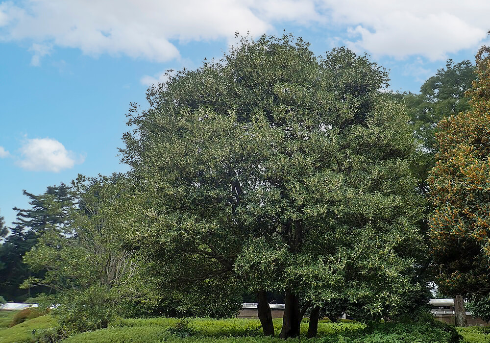ウスギモクセイの木