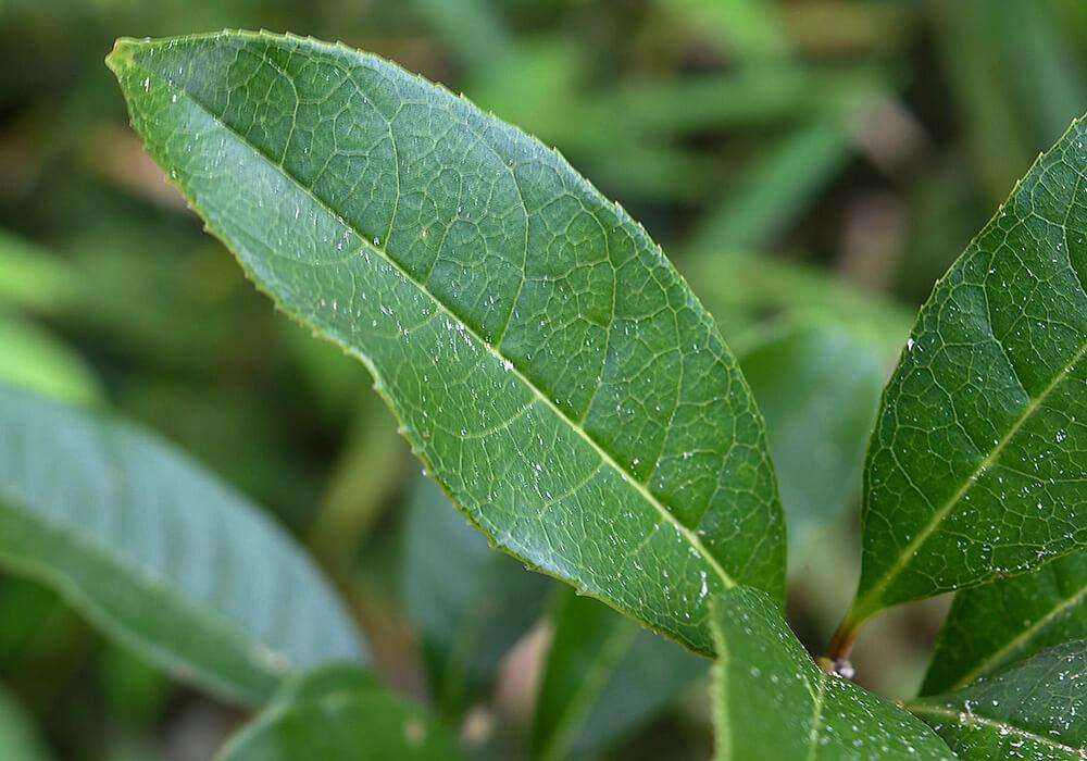 ウスギモクセイの葉