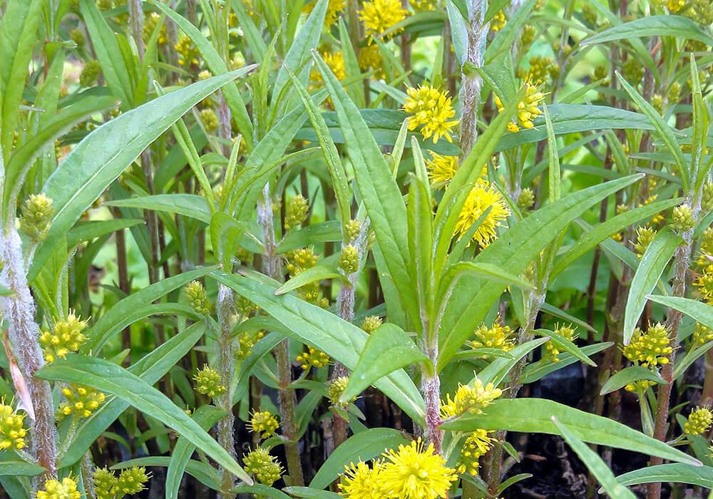 ヤナギトラノオの花と葉